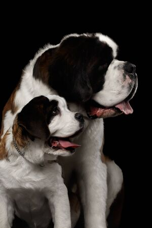 saint bernard: Close-up Head of Two Saint Bernard Dog, Puppy and her Mom on Isolated Black Background, Profile view Stock Photo