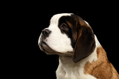 saint bernard: Close-up Portrait of Saint Bernard Puppy Looking up on Isolated Black Background, Profile view Stock Photo