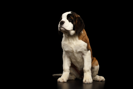 saint bernard: Gorgerous Saint Bernard Puppy Sitting and waiting on Isolated Black Background, Front view