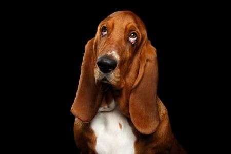 Porträt von Pitiful Basset Hound Dog, der oben auf lokalisiertem schwarzem Hintergrund, Vorderansicht schaut Standard-Bild