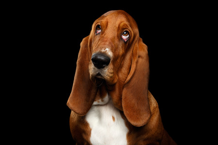 Portrait of Pitiful Basset Hound Dog Looking up on Isolated black background, front view