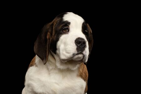 woebegone: Close-up Portrait of Saint Bernard Puppy Looks Sadly on Isolated Black Background, Front view