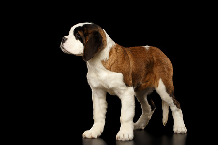 woebegone: Gorgerous Saint Bernard Puppy Standing on Isolated Black Background, side view