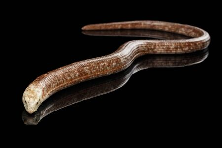 anguis: Sheltopusik or European Legless Lizard, Pseudopus apodusapodus isolated on Black background with reflectoin Stock Photo
