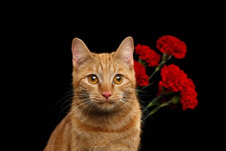 Close-up Portrait of Ginger Cat Brought Flower as a gift and holds carnations behind back isolated on black background, front view Stock Photo
