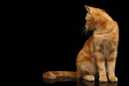 Ginger cat sitting and Stare at side on Isolated Black background, front view