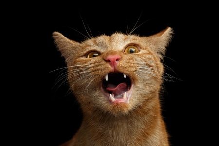 Portrait of Singing Ginger Cat with opened mouth he meowing on Isolated Black background, front view Stock Photo