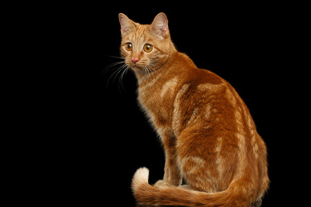 Ginger cat sitting and Stare at side on Isolated Black background, back view Stock Photo