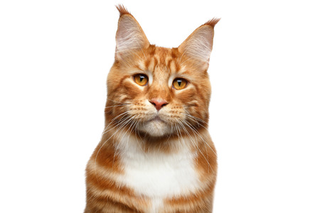 suspiciously: Portrait of Suspiciously Ginger Maine Coon Cat with brush on ears Isolated on White Background, front view