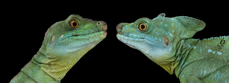 Closeup Two Green Crested Basilisk or jesus christ lizards, male and famele isolated on Black background Stock Photo