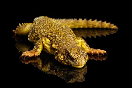 herbivore: Yellow Uromastyx Lizard on Isolated black reflective background