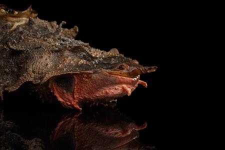 Mata mata Turtle, Chelus fimbriata on isolated Black Background Reklamní fotografie - 73062670