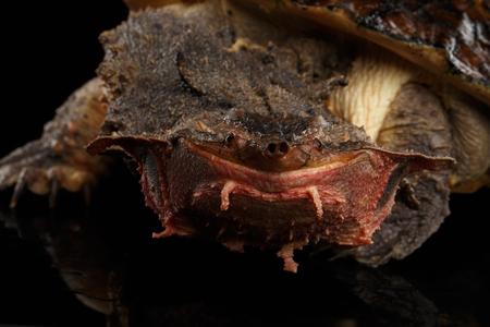 perforated: Mata mata Turtle, Chelus fimbriata on isolated Black Background