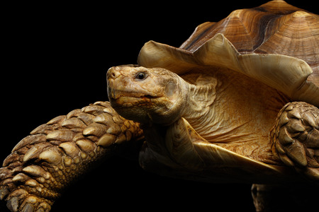 Geochelone sulcata. African turtle Spurs Isolated on Black Background Stock Photo
