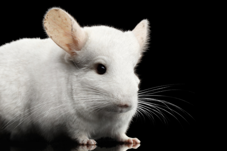 Close-up White Chinchilla on Isolated Black background