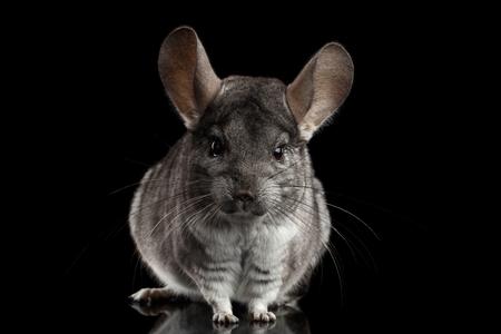 Close-up Gray Chinchilla on Isolated Black background Archivio Fotografico