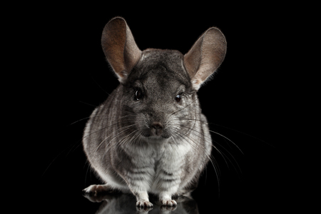 Close-up Gray Chinchilla on Isolated Black background Фото со стока