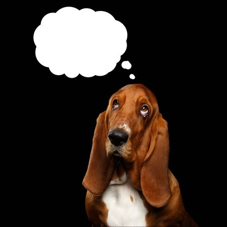 Portrait of Think Basset Hound Dog Looking up on Cloud Isolated black background