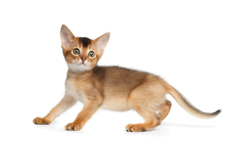 Abyssinian Kitty Play on Isolated White Background, side view