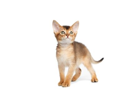 goffo: Playful Abyssinian Kitty Standing on Isolated White Background, Looking up