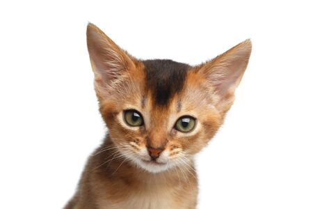Closeup Portrait of Cute Abyssinian Kitty interesting Looking in Camera on Isolated White Background, front view