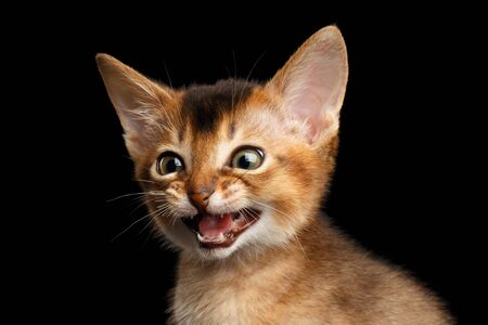 goffo: Amazement Abyssinian Kitty open mouth and eyes in surprise on Isolated Black Background Archivio Fotografico