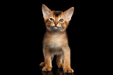 Funny Abyssinian Kitty Standing with winked eye on Isolated Black Background, front view