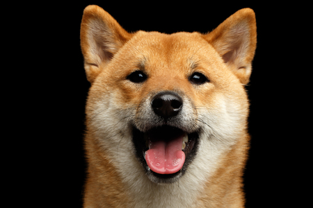 Close-up Portrait of head Shiba inu Dog, Looks Happy, Isolated Black Background, Front view