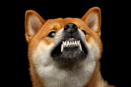 Agressief Portret van Growls Shiba Inu Hond, Geïsoleerde Zwarte Achtergrond, Vooraanzicht