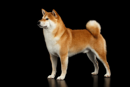 Brutal pedigreed Red Shiba inu Breed Dog Standing on Isolated Black Background, Side view 스톡 콘텐츠