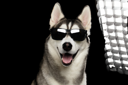 Portrait of Successful Siberian Husky Dog in Sun glasses and back flush light on Isolated Black Background, Front view 版權商用圖片 - 73795772