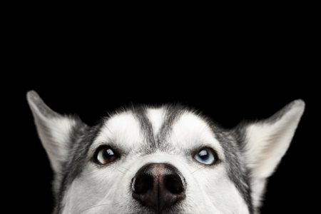 Close-up Head of peeking Siberian Husky Dog with blue eyes on Isolated Black Background, Front view