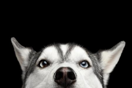 Cabeza de asomándose perro del husky siberiano con ojos azules sobre fondo Negro Aislado, Vista frontal Foto de archivo