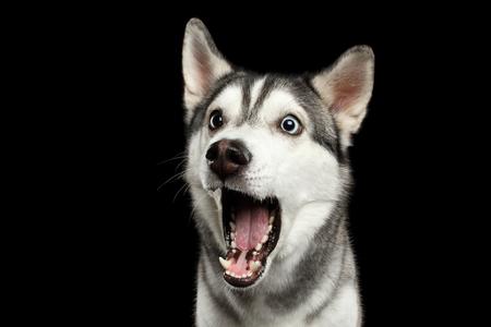 Portret van Verbazing Siberische Husky Dog geopend mond verrast op geïsoleerde zwarte achtergrond, vooraanzicht