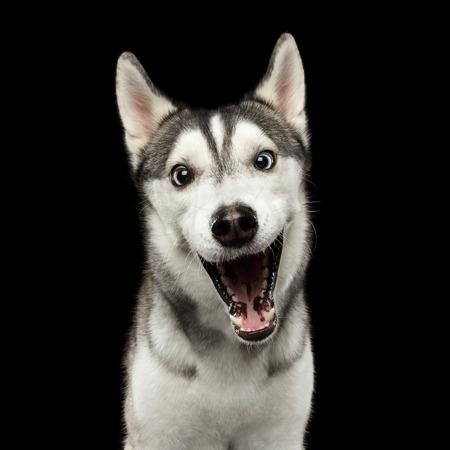 驚きのシベリアン ハスキー犬の肖像画分離黒背景、正面に驚いたが口を開く