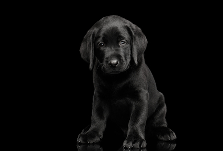 Cute labrador Retriever puppy Sitting and looking sad in camera isolated on black background, front view