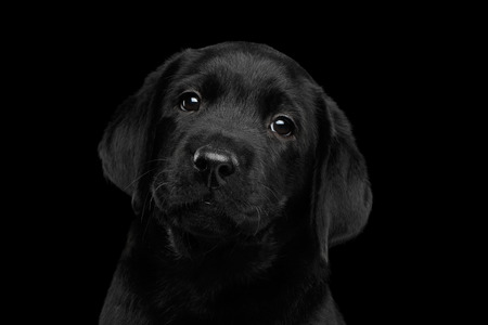 Closeup Portrait of Gorgeous labrador Retriever puppy looking sad in camera isolated on black background, front view