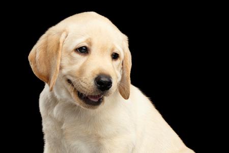 ゴールデン ラブラドール ・ リトリーバーの子犬面白い笑顔黒い背景に分離の肖像画 写真素材