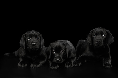 Three Cute Labrador Retriever puppies Lying and looking sad isolated on black background, front view Фото со стока
