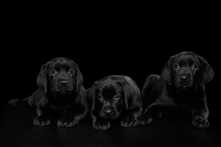 Trois chiots Labrador Retriever mignon couché et la recherche triste isolé sur fond noir, vue de face