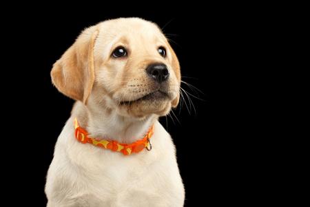 Portret van het Gouden puppy van de Labrador Kijkend omhoog geïsoleerd op zwarte achtergrond Stockfoto