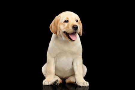 Het gouden het puppy van de Labrador grappige zitting en glimlachen geïsoleerd op zwarte achtergrond, vooraanzicht Stockfoto