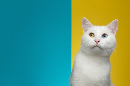 Portrait of Pure White Cat with odd eyes curious looking up on bright Blue and Yellow Background, front view Фото со стока