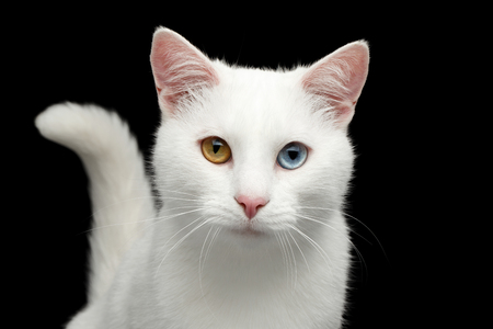 Portrait of Pure White Cat with odd eyes and tail on Isolated Black Background, front view