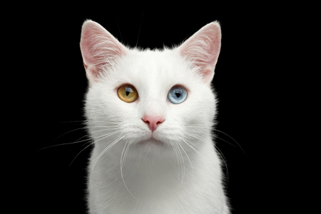 Portrait of Pure White Cat with odd eyes on Isolated Black Background, front view Stock Photo