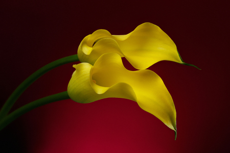 Two Yellow Calla Lily Flowers shot in studio on a red background