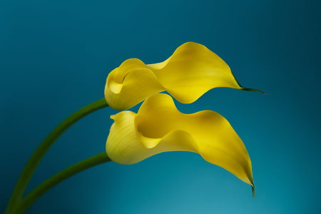 Two Yellow Calla Lily Flowers shot in studio on a blue background