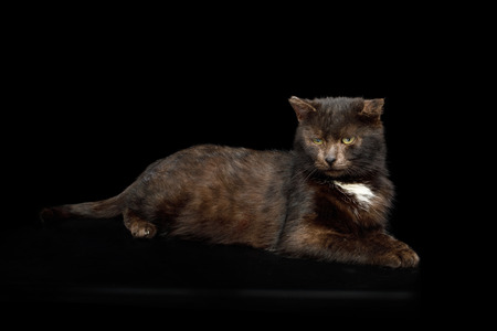 tranquility brown cat lying on isolated black background