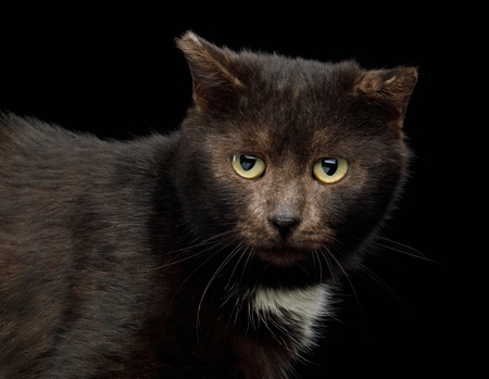 Portrait of unusual brown cat look like bear on isolated black background, side view