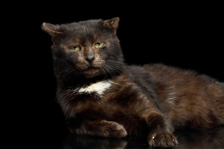 tranquility brown cat look like bear lying on isolated black background